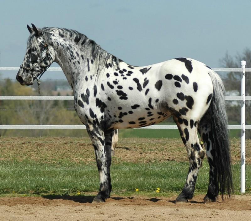 Appaloosa Stallion Donation Services